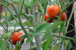 Topiarius Veggies Tomatoes